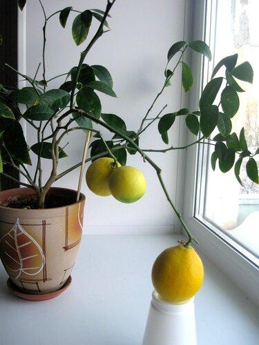 Как вырастить лимон из косточки, Растим растения