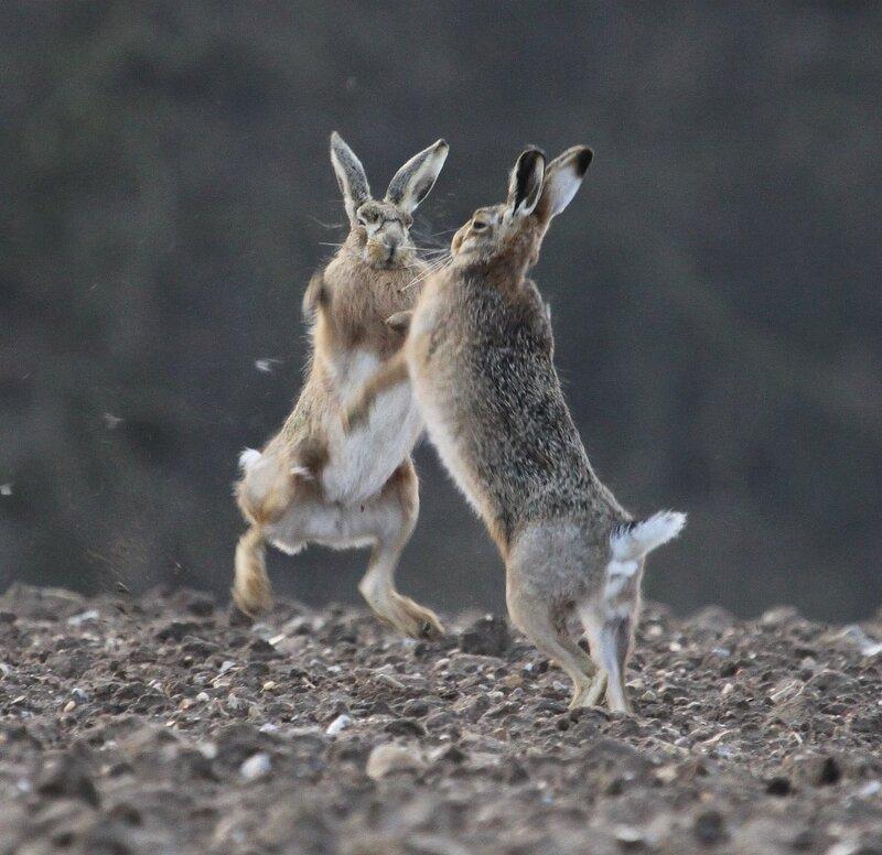 боксирующие зайцы