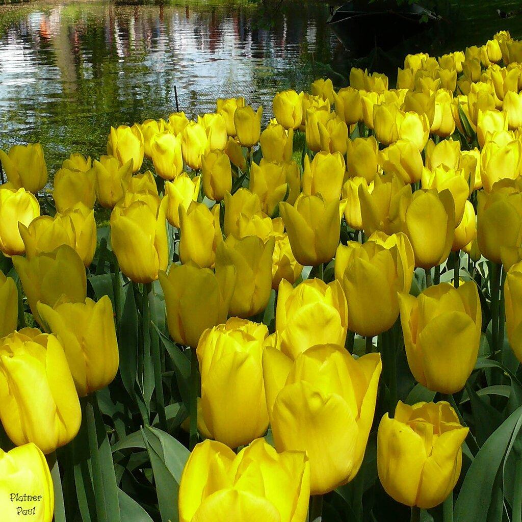 Тюльпаны во всей красе...