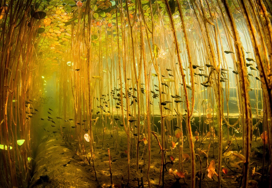 «Детский сад» из водяных лилий для маленьких рыб 0 148fd2 c4860803 orig