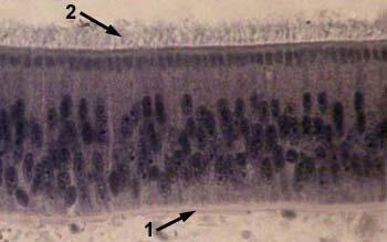 Базальная мембрана мышечного волокна - 9b1