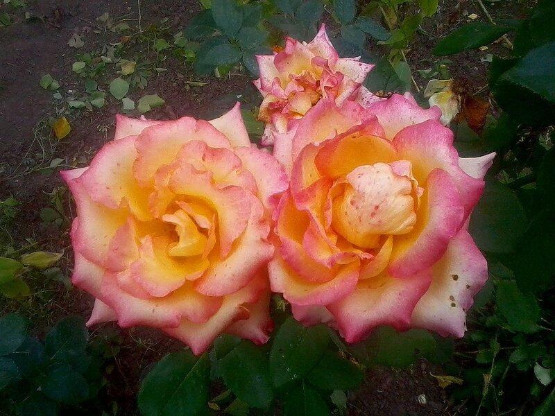 Осень,с.Остров,подворье,райский садик,розы