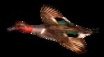 Водоплавающие птицы: утки, лебеди, чайка и пеликан