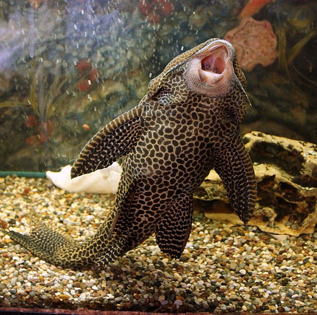 Brocade catfish or a walking fish serenade by for The walking fish