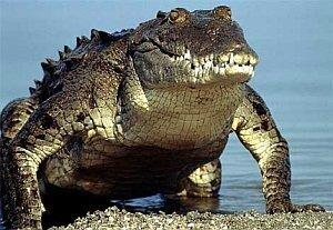 Муниципальная мощь Владивостока должна прирасти крокодилом
