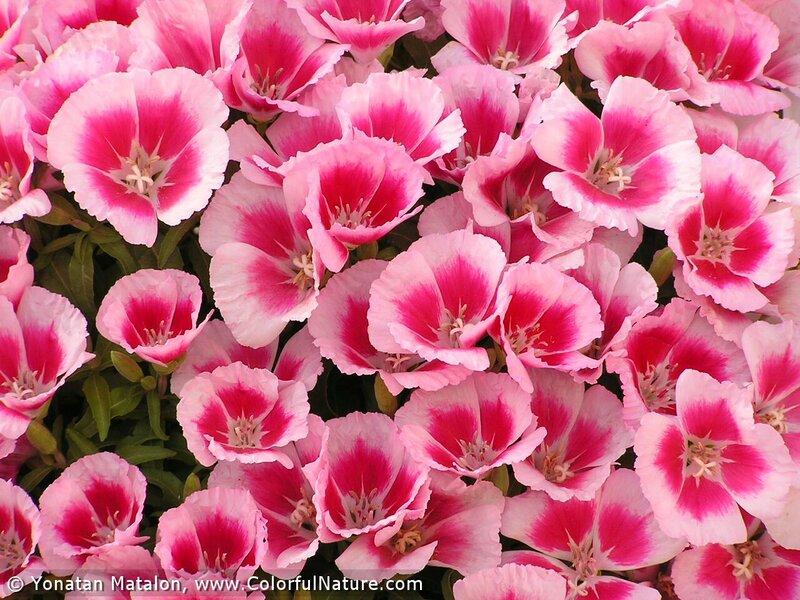 Цветок годеция фото 7