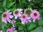 Echinacea Secret Romance (1).JPG
