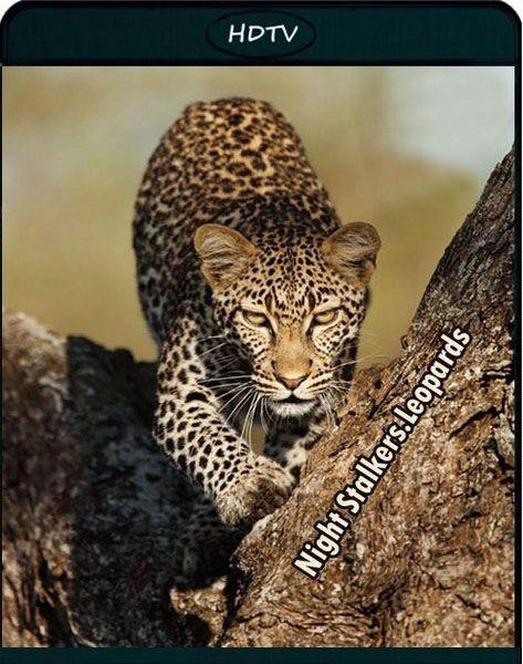 Ночные охотники. Леопарды / Nightstalkers. Leopards (2011/HDTVRip)