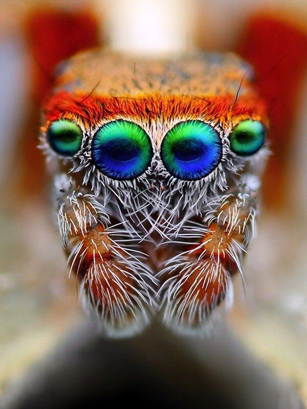 Прыгающие пауки: 8