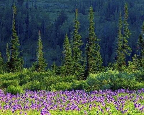 Альпийские поляны - Заповедник Кузнецкий Алатау