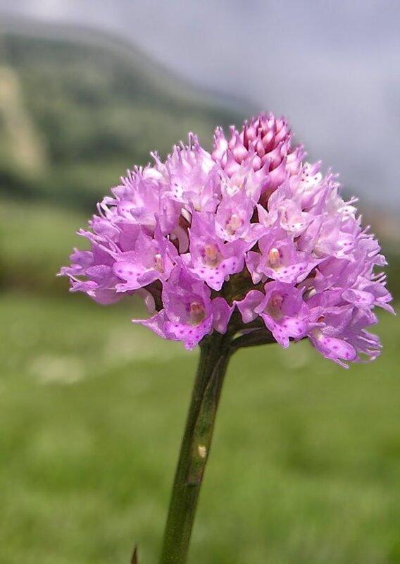 Горная орхидея Крыма Траунштейнера шаровидная