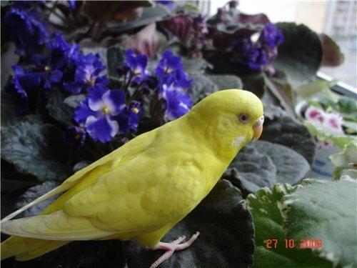 Картинки : Волнистые попугаи.  (15 Фото)