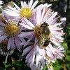 Пчела осенняя