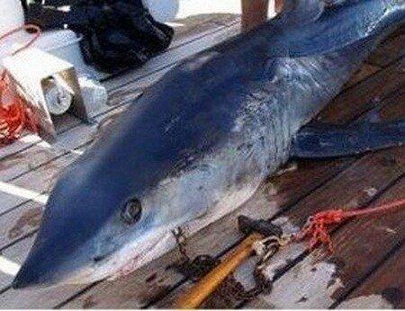 ...участились нападения акул на людей, на что местные власти приняли...
