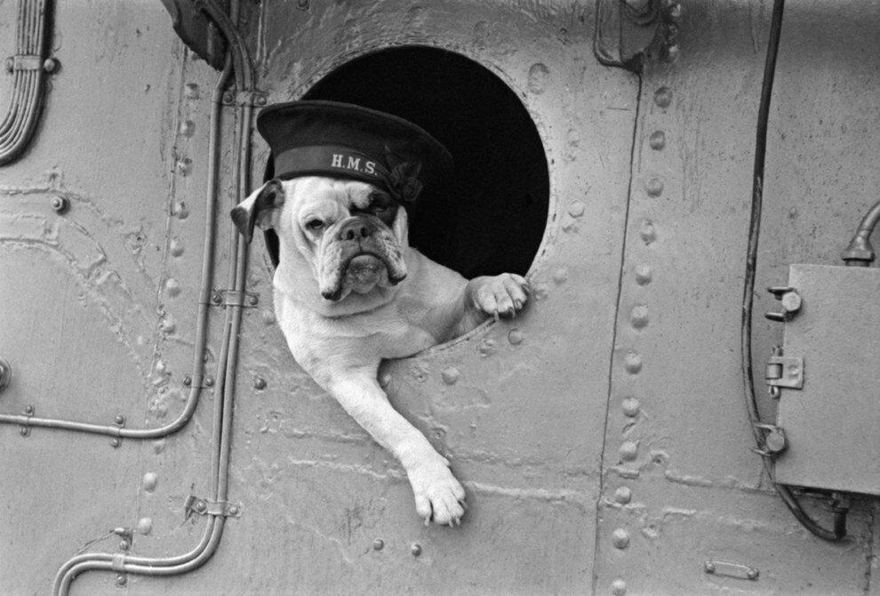 Venus the Bulldog was the sassy mascot of the Royal Navy destroyer HMS VANSITTART. (1941).jpg