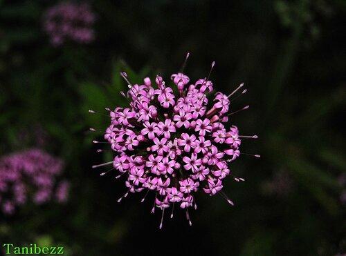Фуопсис длинностолбиковый / Phuopsis stylosa
