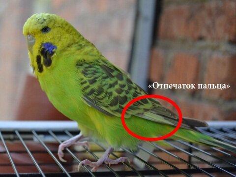Секс попугайчиков