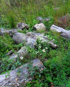 Травы, цветы, старые брёвна ... SAM_4081.JPG