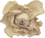 creme_rose_dried2.png