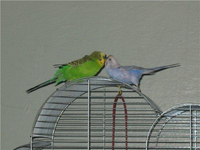 Когда размножаются волнистые попугаи в домашних условиях
