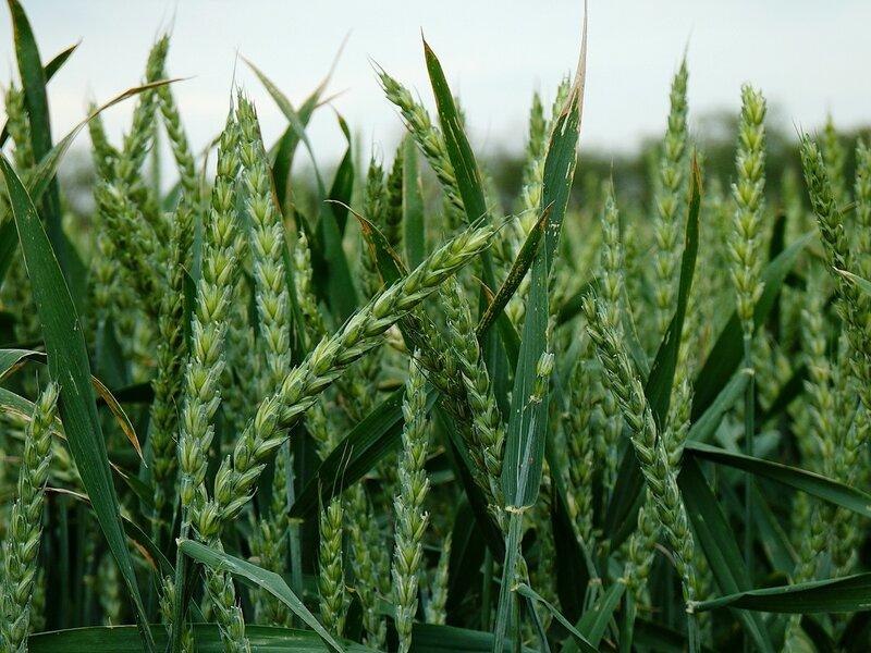 Озимая пшеница сорта Фортуна