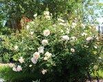 Crocus Rose, Austin, 2000