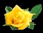 rosengelb07.png