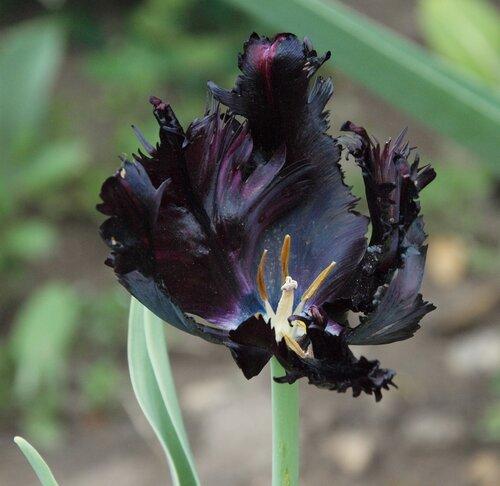Черный тюльпан (P4300701.JPG)