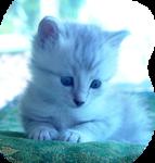 Кошки 5 0_50a08_69078148_S