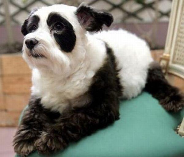 собака панда