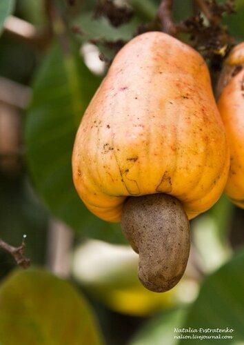 орешки кешью - опасные и полезные свойства