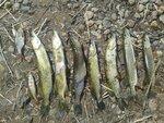 Результаты утренней рыбалки. Валдай. Лето 2014.