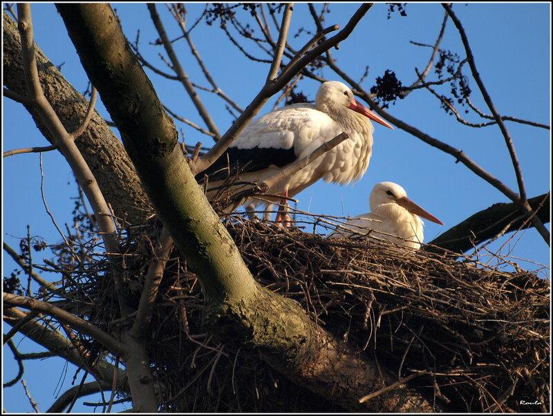 картинка аист в гнезде на дереве выкладывают фотки своих
