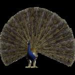 Аист,цыплята,павлин. 0_81ed7_696fd357_S