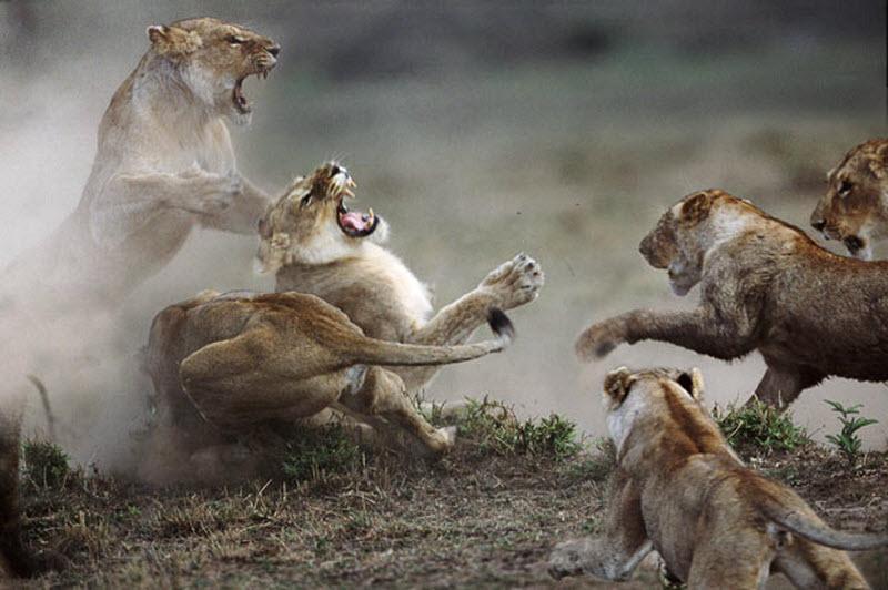 2. Львицы против львиц. Эпическая драка больших кошек в заповеднике Масаи Мара. Почему возникла драк