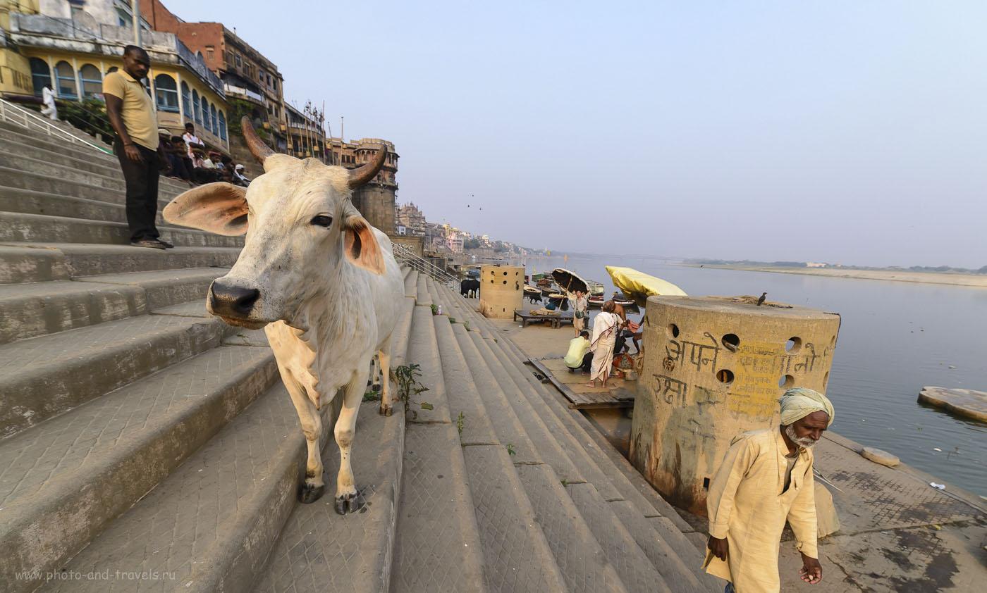 Фото 17. На быке бог Шива ездил, а появился на свет он из уха коровы. Вечер на бергеу реки Ганг в Варанаси. Отчет о путешествии по Индии. 1/250, 8.0, 200, 14.