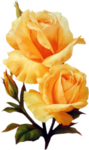 soft yellow roses.png