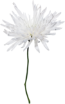 JanetB_HopesnDreams_flower4.png