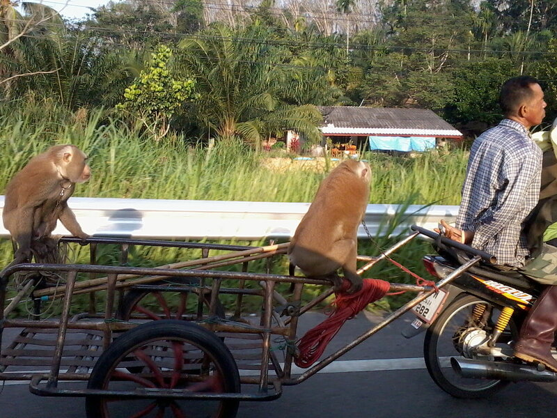 Обезьянки едут на мотоприцепе