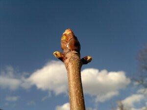 Каштан растёт 2011.04.29