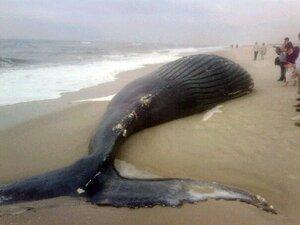 Природоохранная прокуратура просит установить причины гибели китов в Приморье