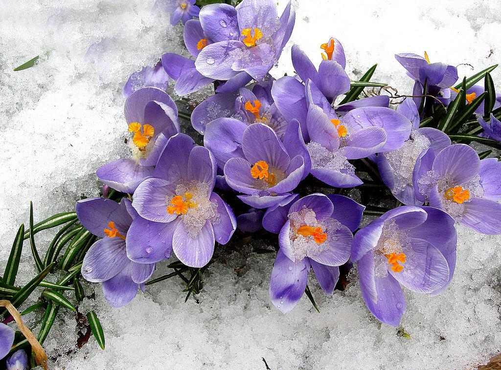 Крокусы в снегу купаются...