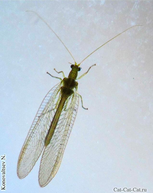Бабочка златоглазка