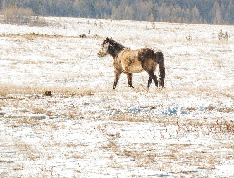 Лошадка на Ольхоне