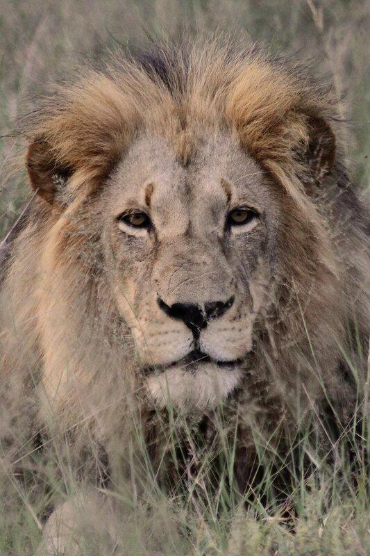 Zavar-vera Царь зверей африка