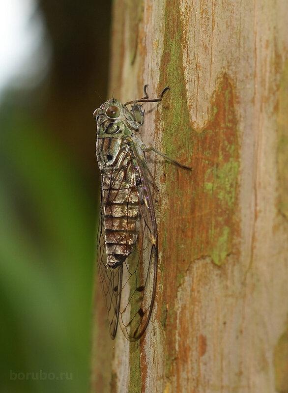 Цикада Platylomia в ботсаду Сингапура