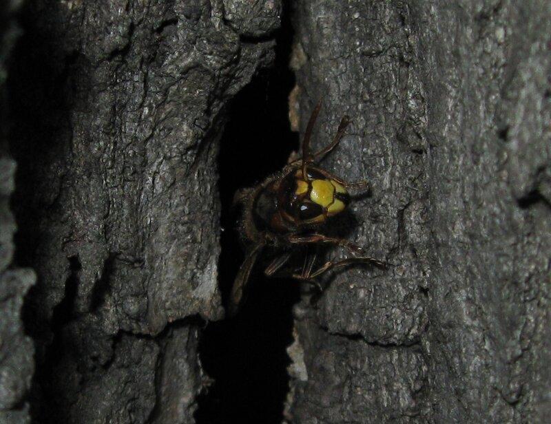 Шершень обыкновенный (Vespa crabro) Автор фото: Олег Селиверстов
