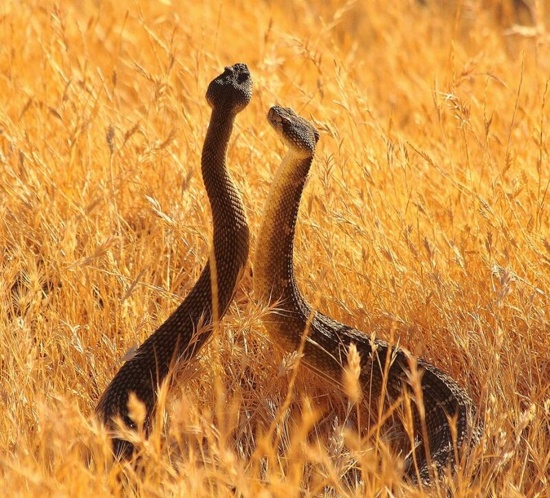 Брачный танец змей Обои для рабочего стола Животный мир...