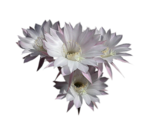 fleur_rose_et_blanche_tubed_by_thafs.png