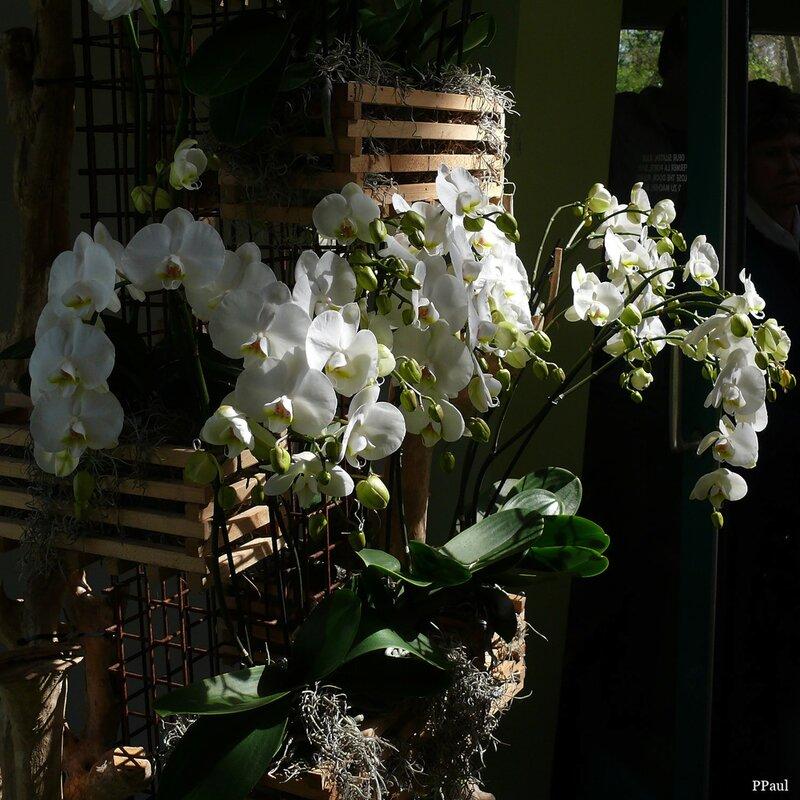 Орхидеи Койкенхофа
